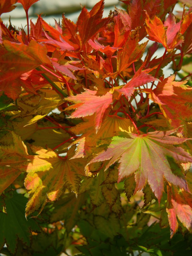 Golden Full Moon Maple Acer shirasawanum 'Aureum' Toronto Botanical Garden by garden muses-not another Toronto gardening blog