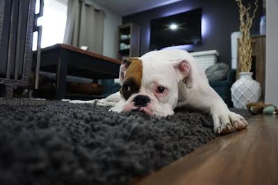 Inkontinencija kod psa