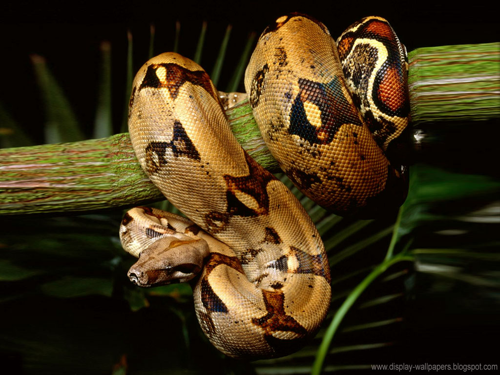best hd wallpapers for ipad: Snake Wallpapers HD
