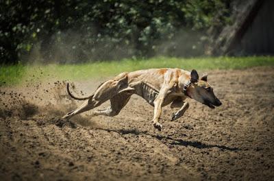 Fastest Dog Breeds, Racer dog breeds