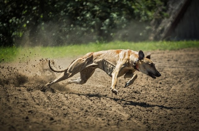 Fastest Dog Breeds - Top 6 Sexy Racer Dog Breeds In The World