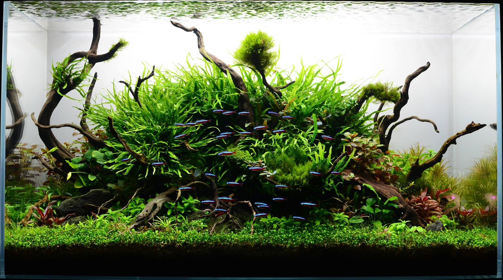 The Nature Aquarium Style Aquascape