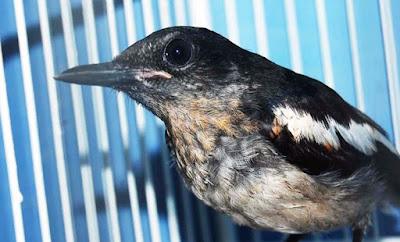 Tips Dan Trik Perawatan Burung Kacer Muda Hutan Yang Sudah Terbukti