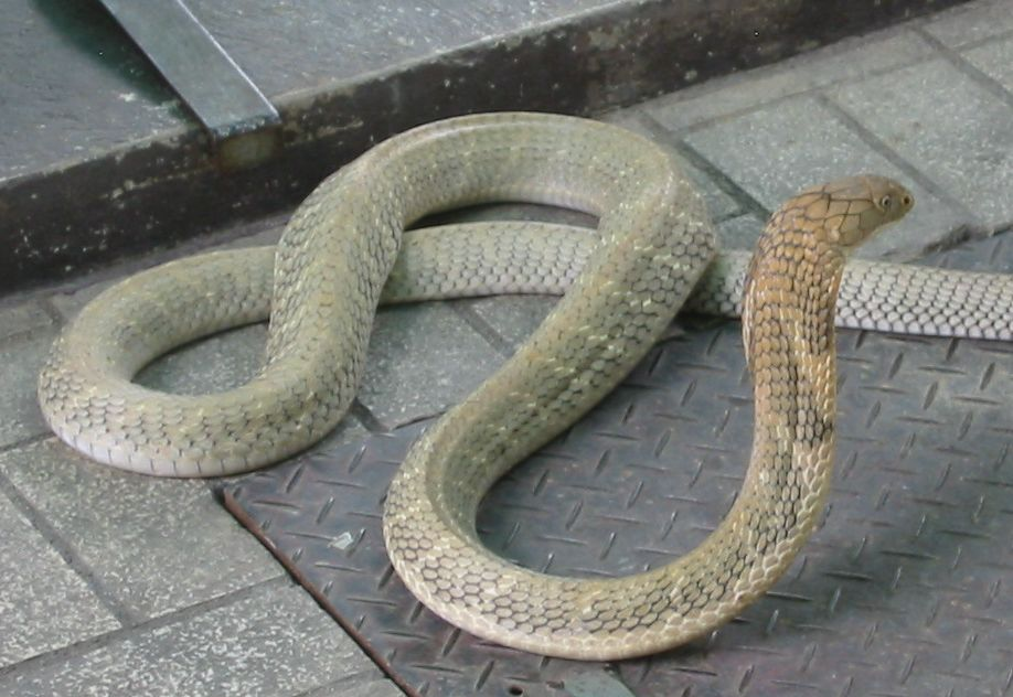 King Cobra Snake Photos: SUJITH SPOT:::::: Unbelievable Facts About King Cobra