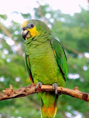 Amazona alianaranjada: Amazona amazonica