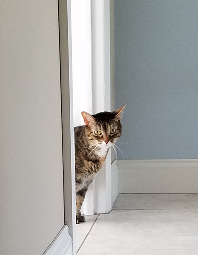 image of Sophie the Torbie Cat peeking around a doorway