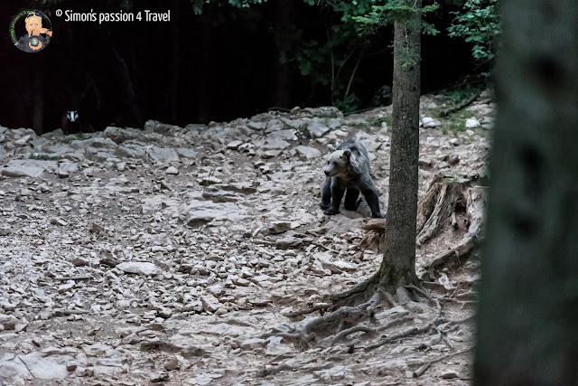 orsi slovenia, un orso maschio e un tasso sullo sfondo