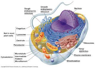 soal dan pembahasan struktur sel dan jaringan