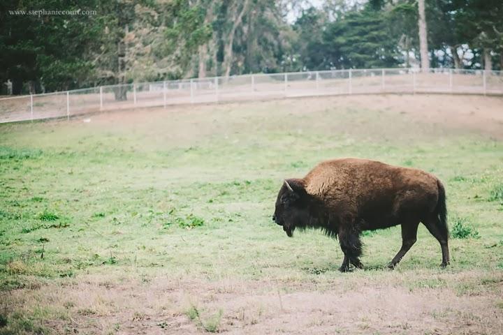 buffalo-golden-gate-park