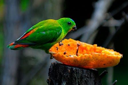 burung burung serindit