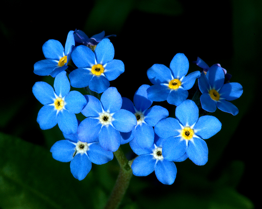 Image result for bunga forget me not