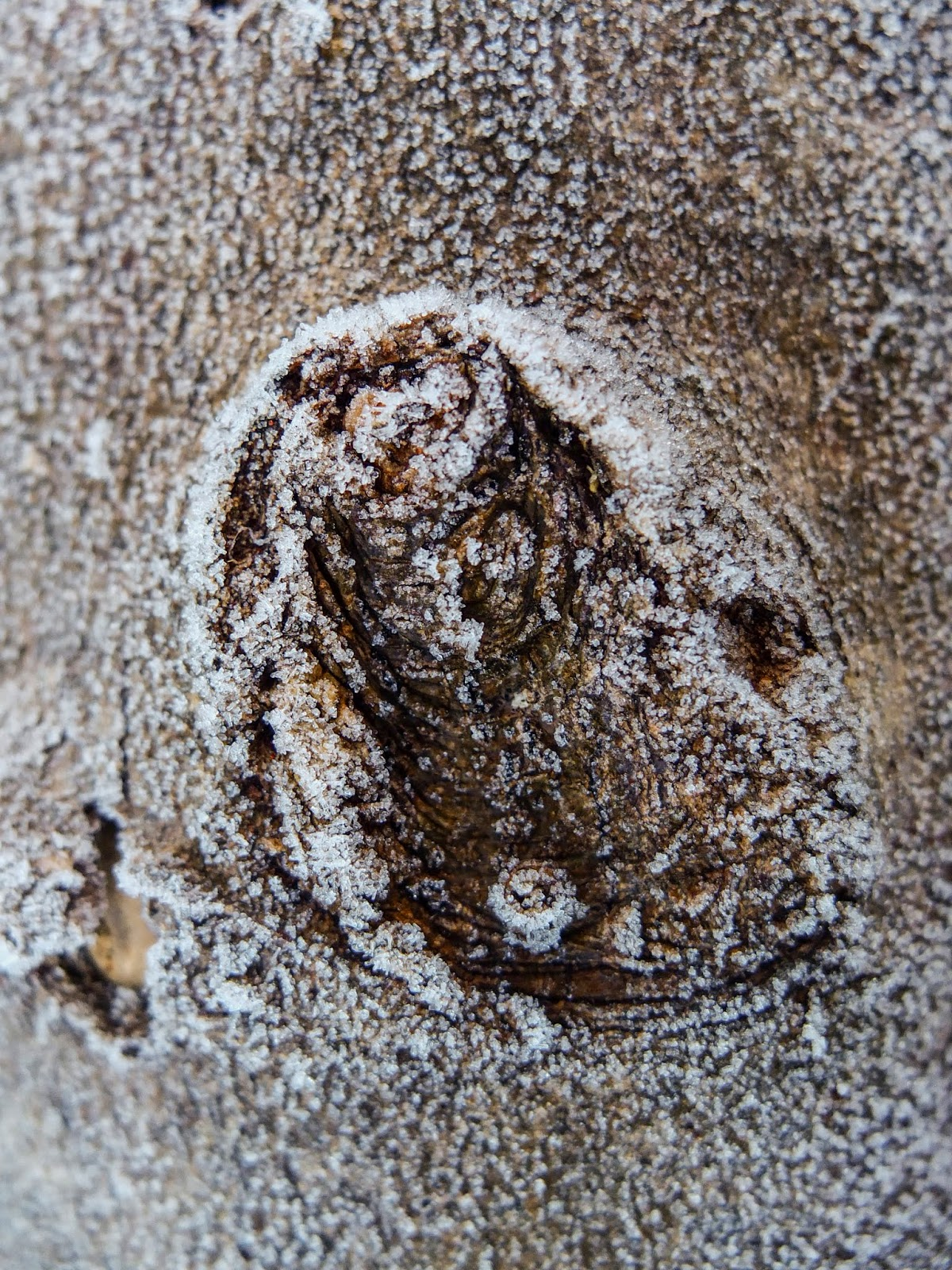 A close up of a frost covered knot on a tree trunk.
