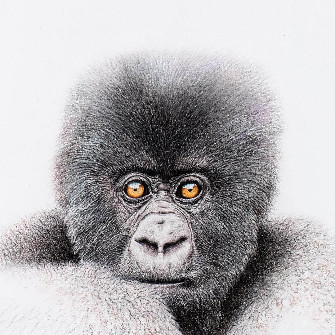 04-Baby-Mountain-Gorilla-2-mART-Realistic-Wildlife-Animal-Drawings-www-designstack-co