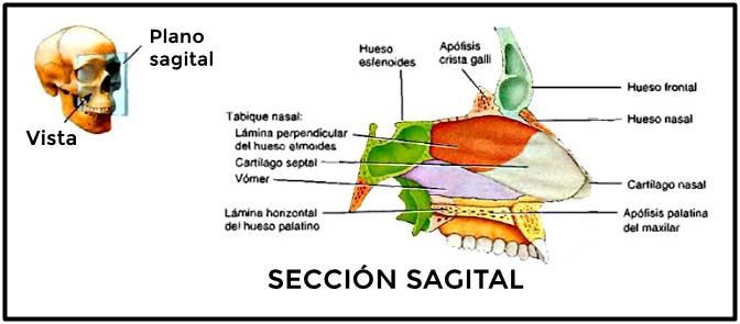 Tabique nasal