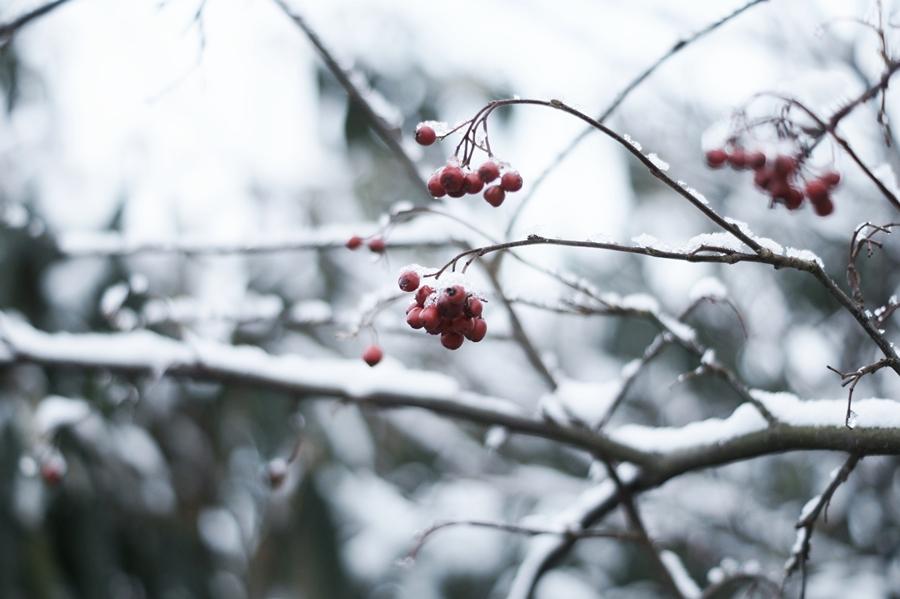 Blog + Fotografie by it's me! - Draussen - Frau Frieda sucht Schnee, verschneite rote Beeren
