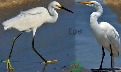 egret, egret bird, বক