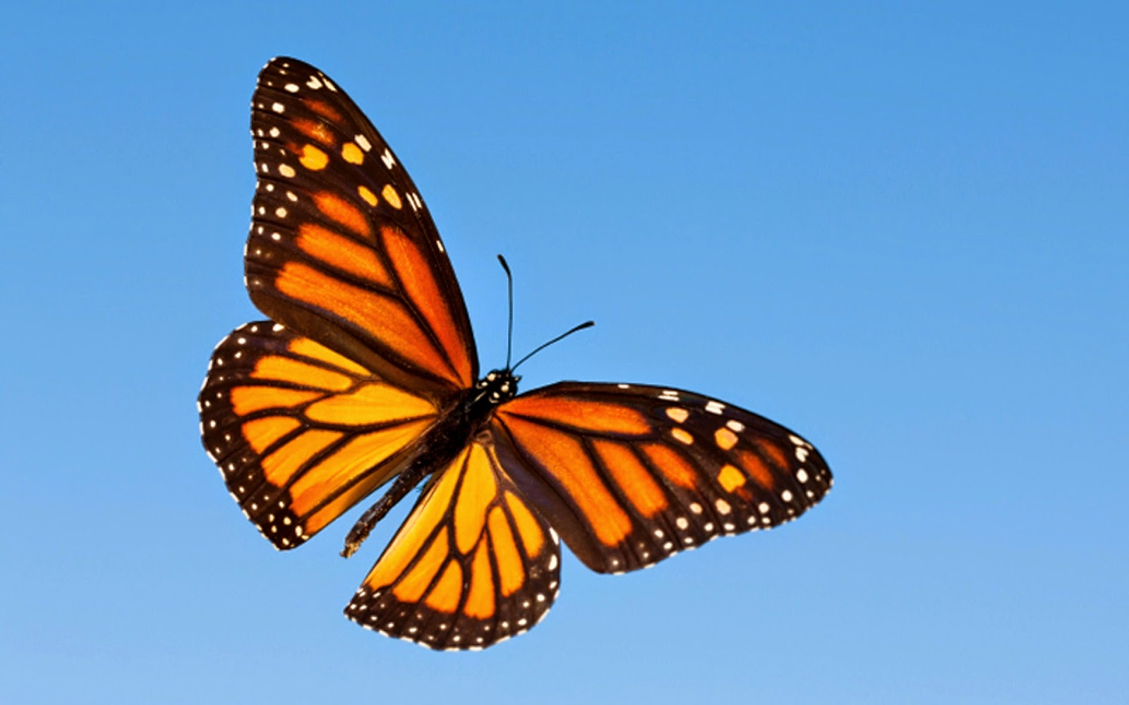 Monarch Butterfly Migration Wallpaper - photo#17