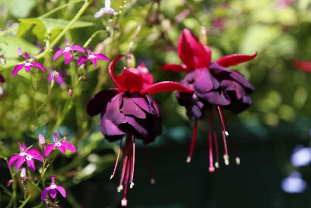 Petunia 'Black Beauty' in Hanging Basket with Lobelia