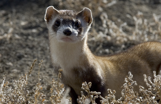 Endangered Animals Black Footed Ferret