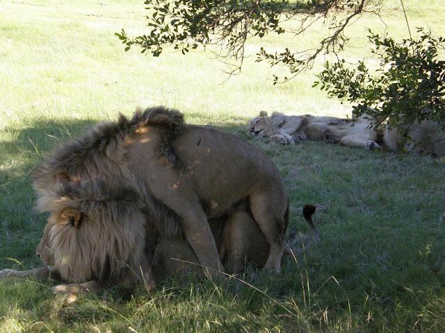 Mengejutkan! Ternyata Singa Juga Bisa Menjadi Gay! Ternyata Ini Alasannya
