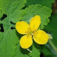 Celidonia, hierba verruguera o hierba de las golondrinas
