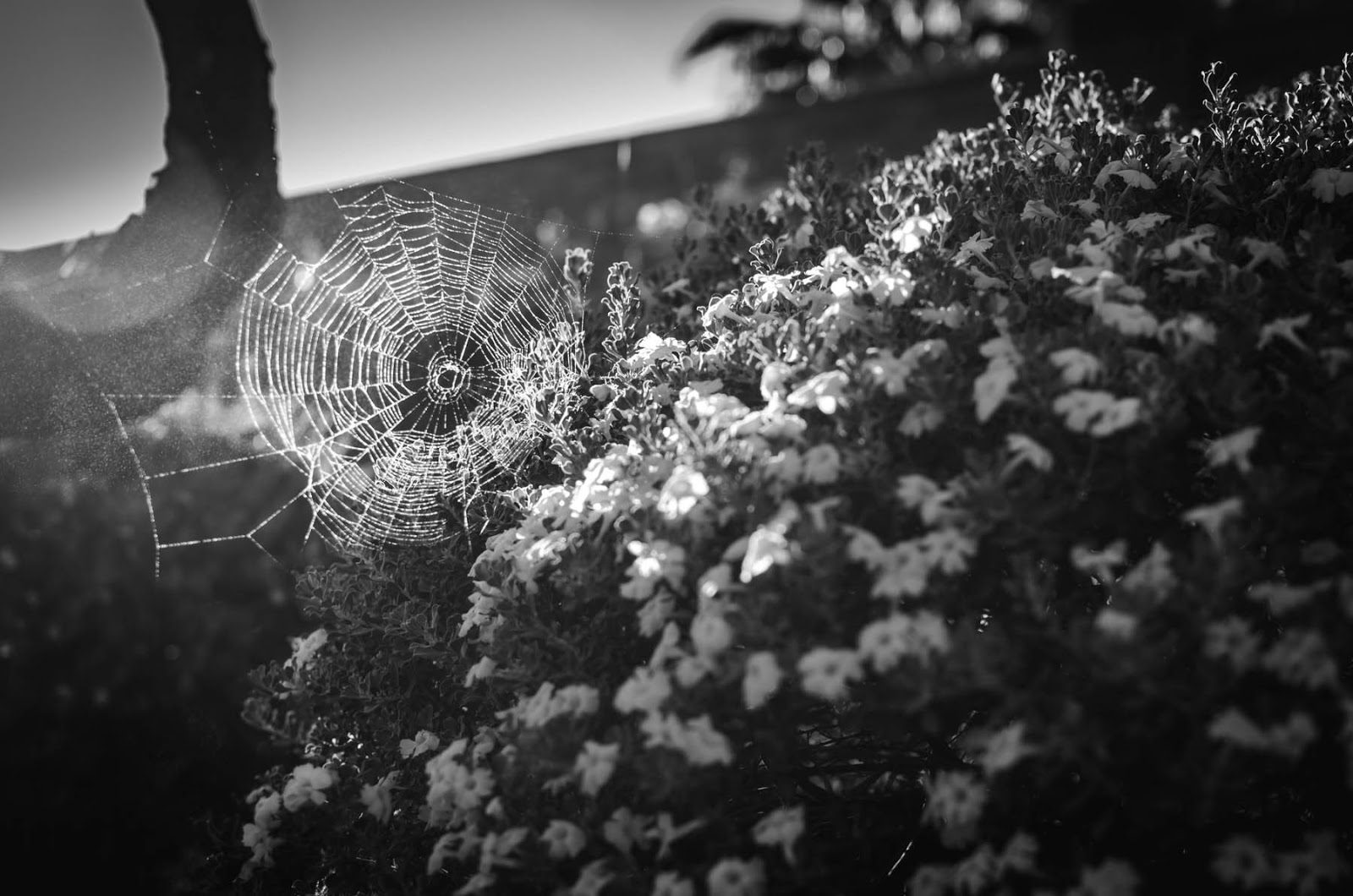 spider webs black and white