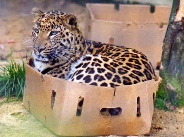 carton et chat 31