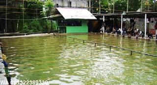 Umpan Serbuk Ikan Mas di Air Hijau