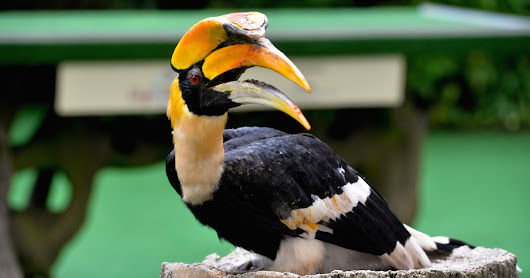 Sunny the Hornbill is Jurong Birdpark's New Animal Icon