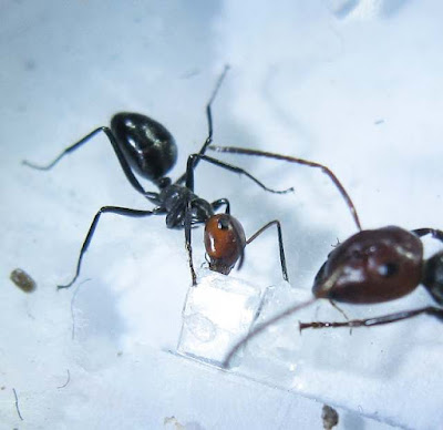 minor worker of Camponotus saundersi