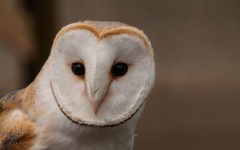 Wallpaper: Barn Owl