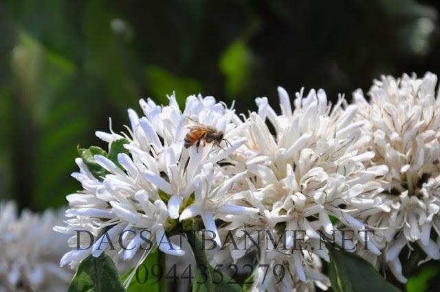 ong lấy mật hoa cà phê
