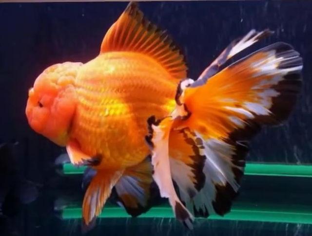 Ciri Ciri Ikan Mas Koki Sakit Akuarium Mas Koki