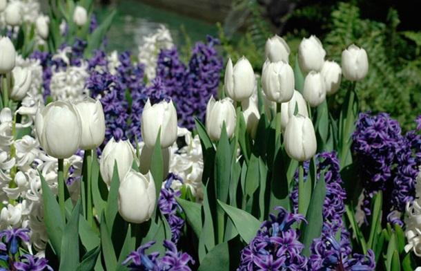 Белые тюльпаны и синие гиацинты