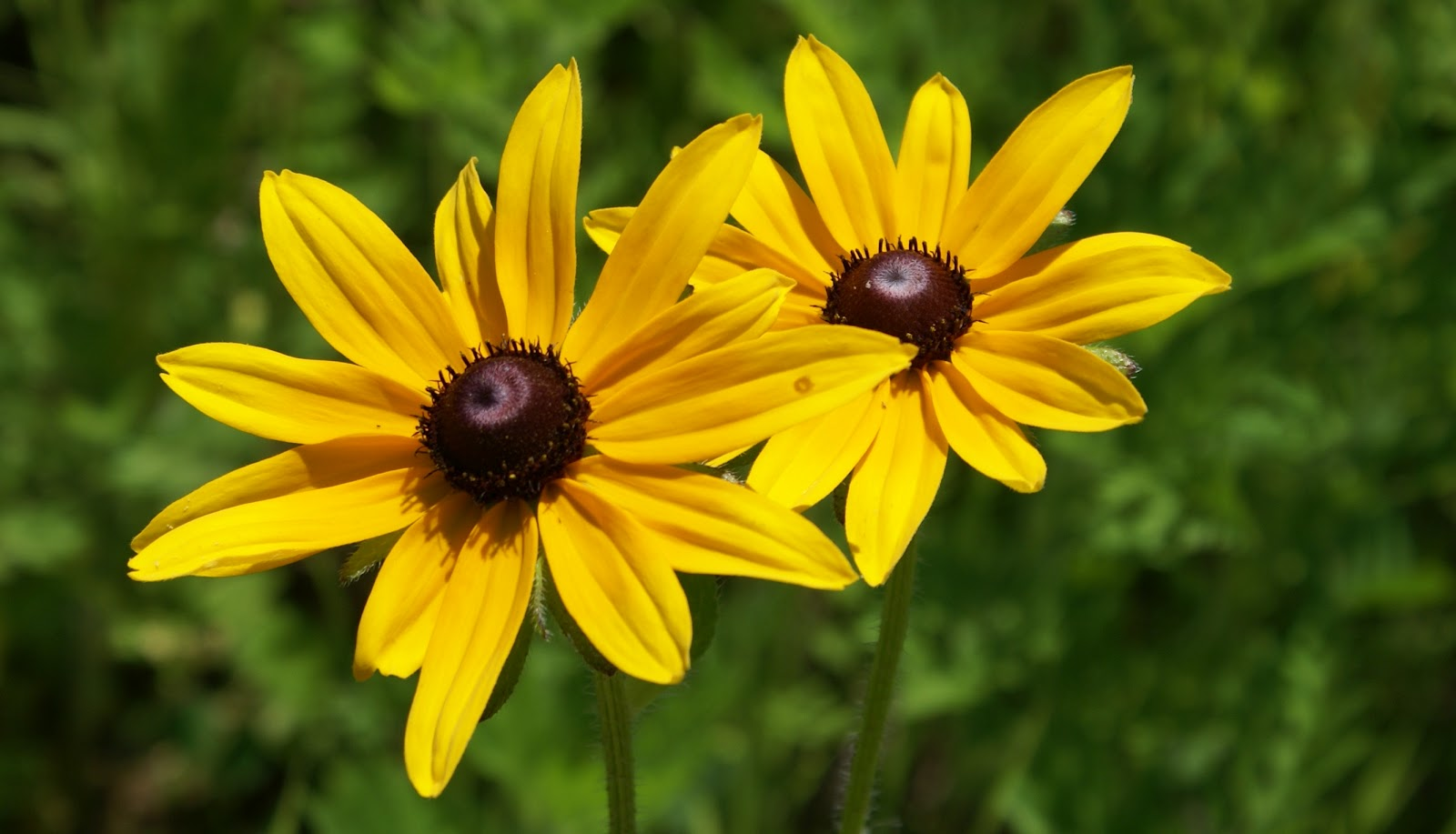 brown eyed susan - HD 1600×917