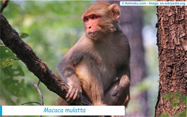 Fakta unik tentang monyet rhesus