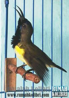 Download 64 Foto Gambar Burung Sogok Ontong  Paling Unik