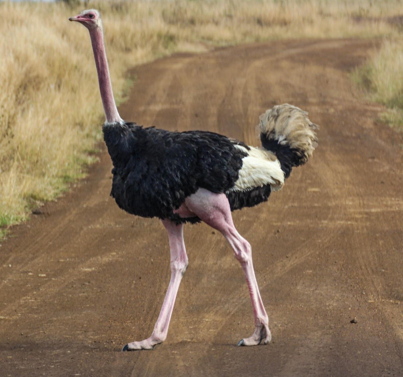 Cannundrums: Masai Ostrich