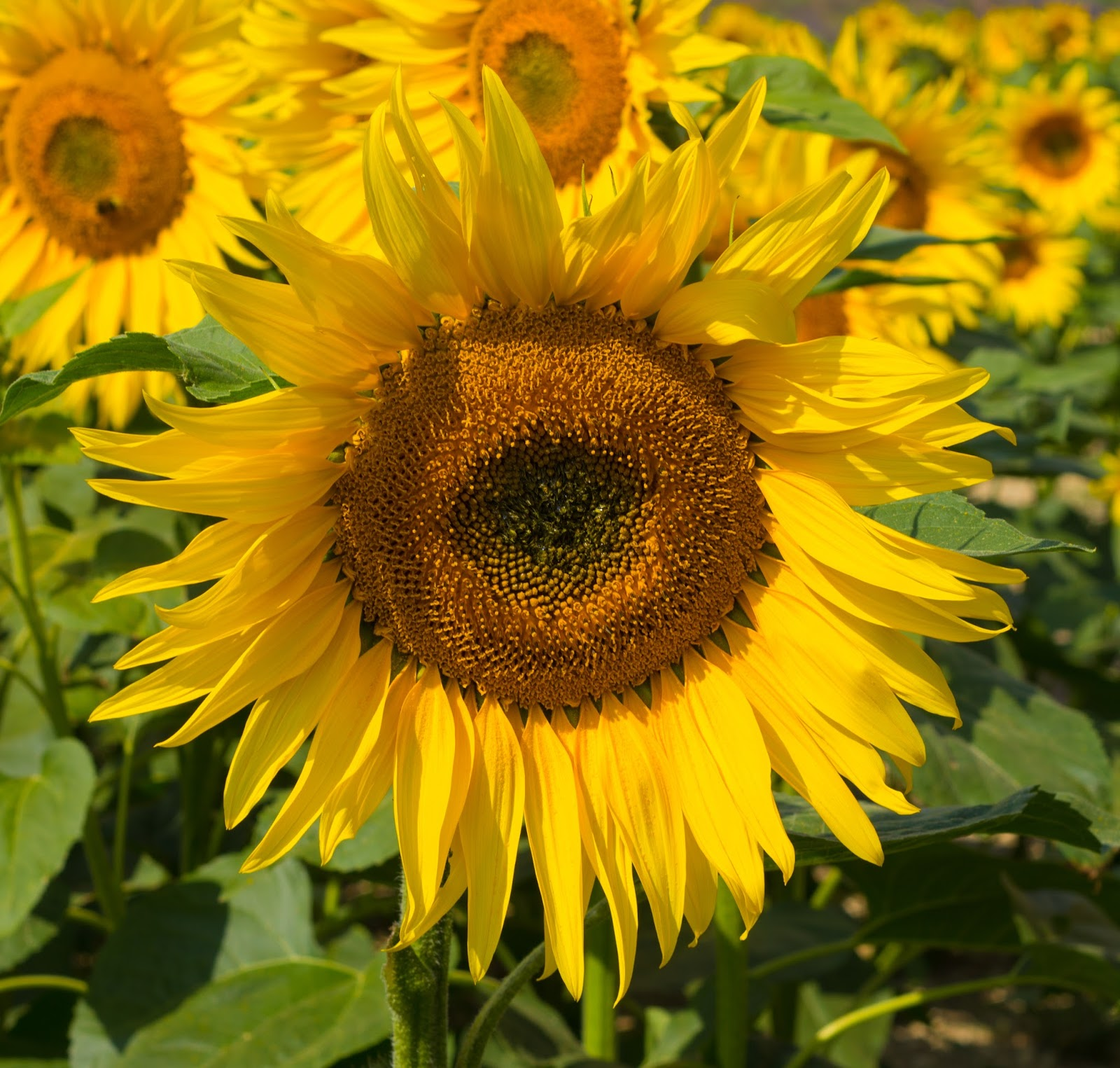 A close up of a bright yellow sunflower with more sunflowers in the background