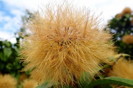 Flores douradas atrativas para beija-flores