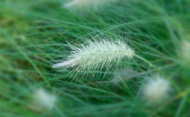 Panícula de COLA DE ZORRO Pennisetum villosum