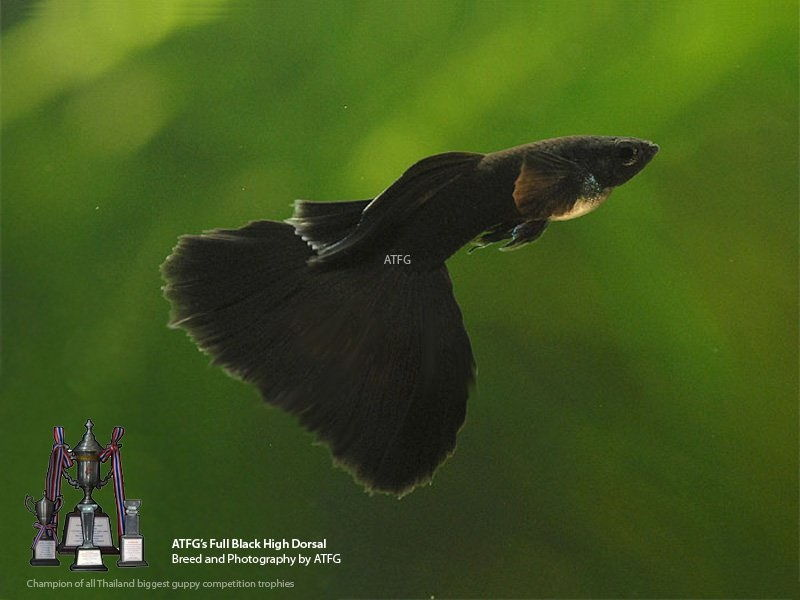 Gambar Jenis Ikan Guppy Import - Ikan Guppy Import Full Black / FB - Big Dorsal