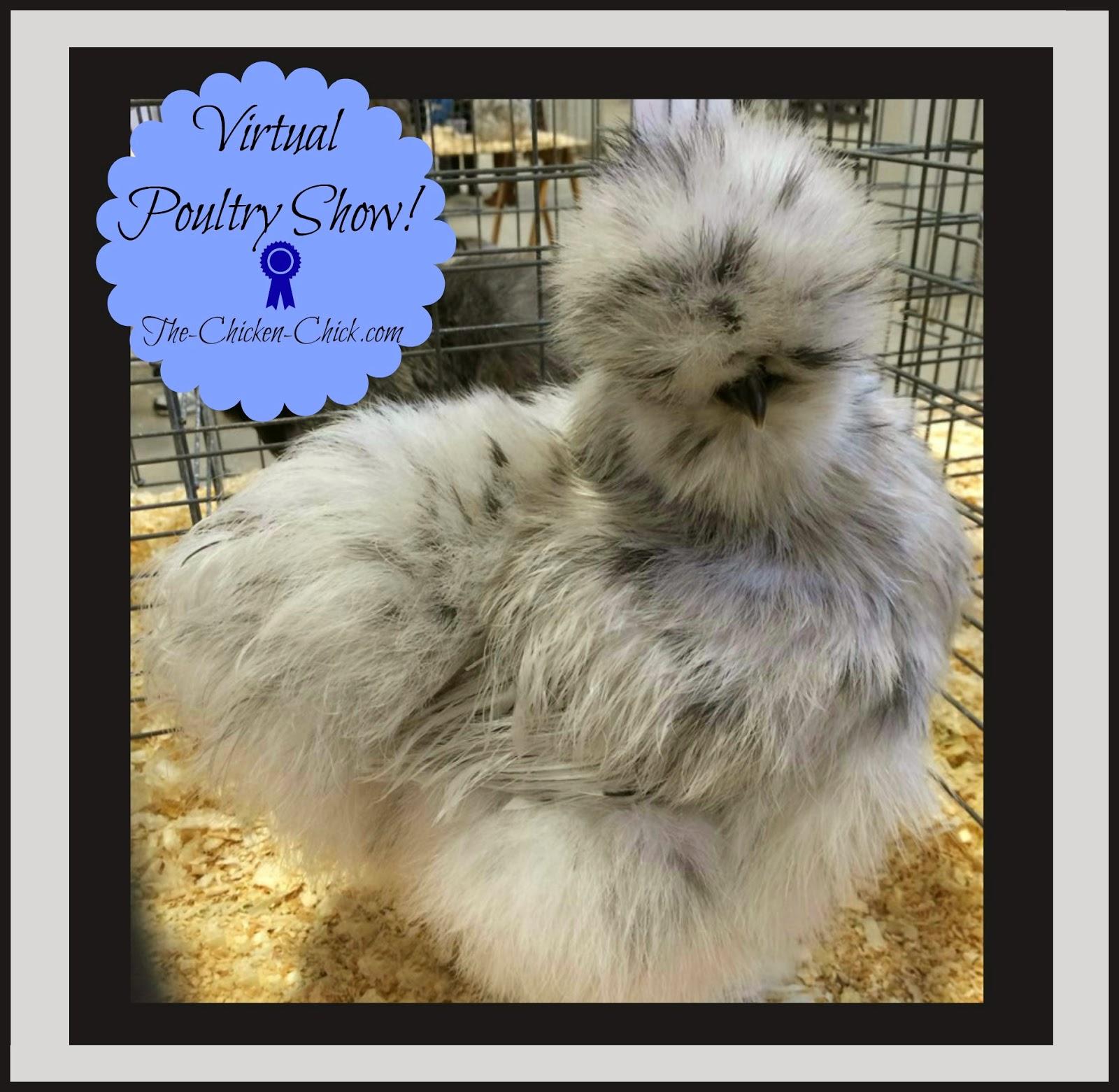 Virtual Poultry Show, Bantam Splash Sikie