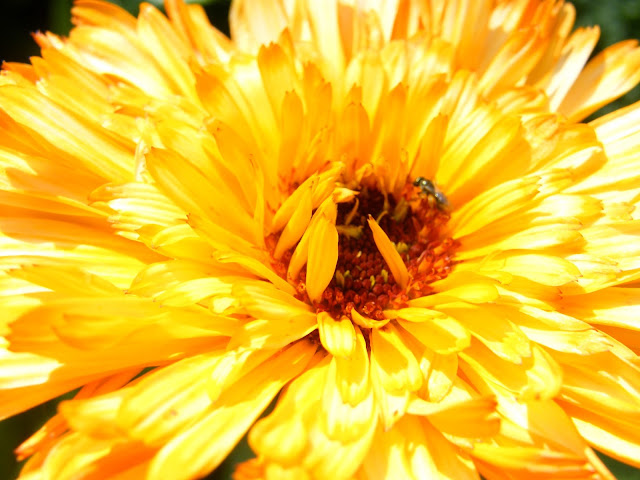 A fly pollinator on calendula bloom