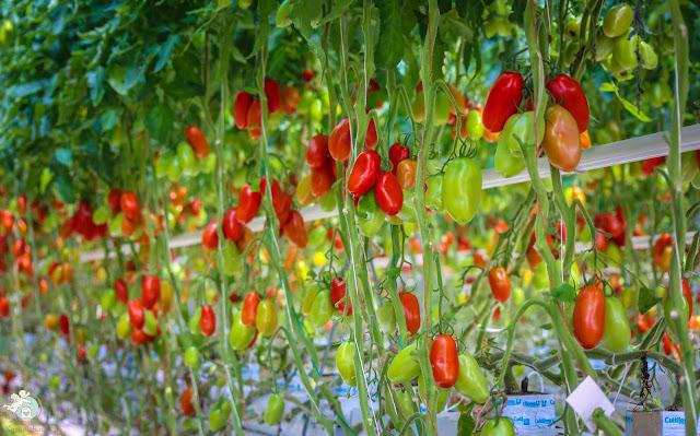 Franken Tomaten aus Gewächshaus
