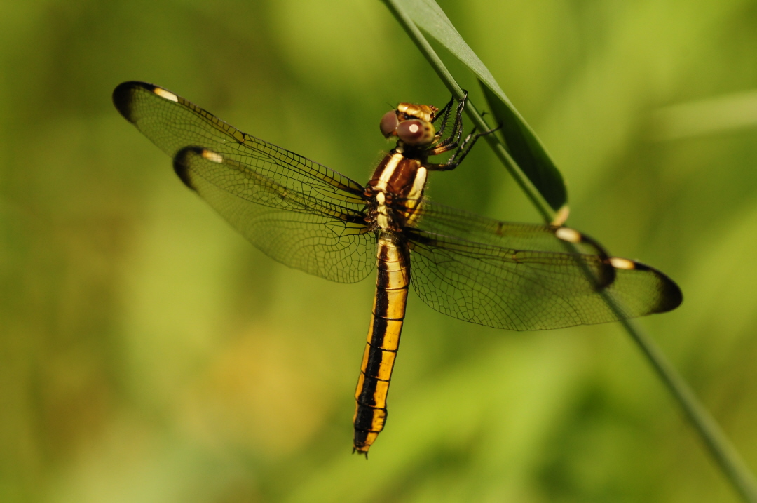 Recent Sightings: Dragonflies and Damselflies - photo#4