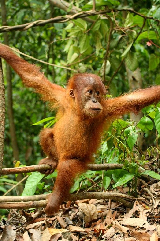 ciri orang hutan, memelihara orang hutan, jenis orang hutan lindungi orang hutan
