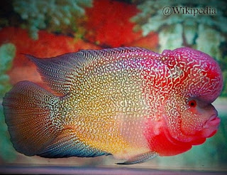 Ikan louhan indonesia