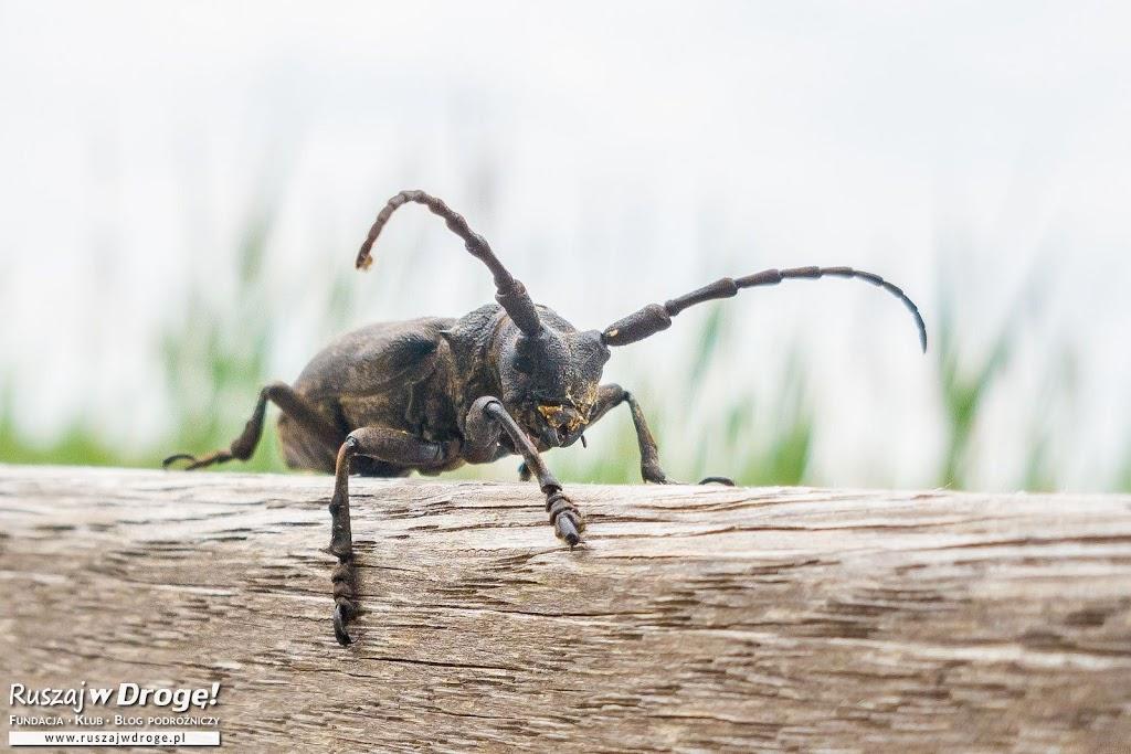Zgrzypik Twardziel - kosmita wśród chrząszczy