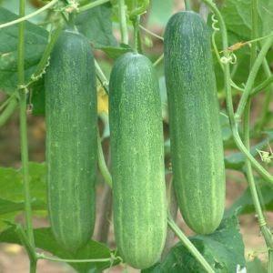 bisnis sayuran mentimun